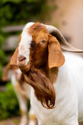 Boer goat buck, a breed of goat that was developed in South Africa in the early 1900s and is a popular breed for meat and milk production, with its typical beard brown and white body and curved horns