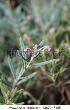 Bog rosemary Blue Ice - Latin name - Andromeda polifolia Blue Ice #1362047165