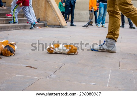 BOGOTA, COLOMBIA - FEBRUARY 25, 2015: Guinea pig street gambling one animal is running towards its flock after it chose colorful upturned plastic bowl and crowd awaits anxiously for new bets at