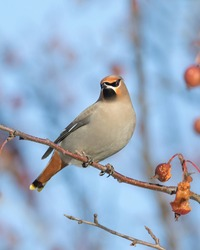 Bohemian Waxwing bird posing on crabapple tree branch