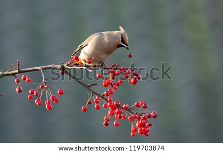 Bohemian Waxwing perched on a twig with berries