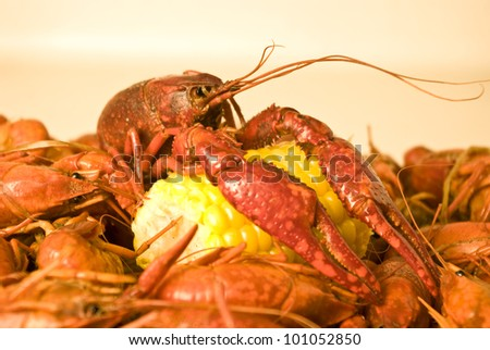 Boiled Crawfish - A boiled Louisiana crawfish (crayfish) resting with its claws on an ear of corn.
