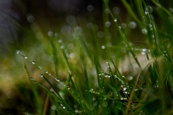 Bokeh effect of drops of water on grass in a forest
