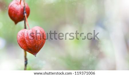Bokeh nature background of inflorescence Physalis alkekengi (Chinese Lantern) #119371006
