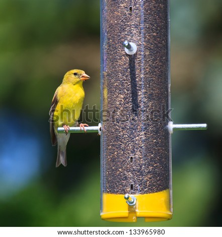 Bold gold and yellow feathers, a goldfinch munches thistle seed. The finch is perched on a transparent tube feeder that is filled with brown seeds. Background of soft sky blues and tree greens.