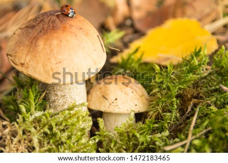 Boletus with a ladybug in the autumn forest.