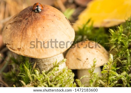 Boletus with a ladybug in the autumn forest close-up.