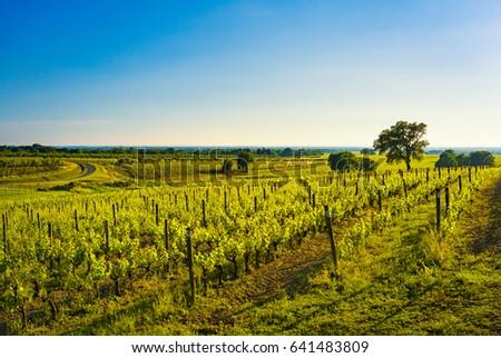 Bolgheri vineyard, trees and sea on background. Maremma panorama springtime, Tuscany, Italy, Europe. #641483809