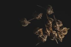 Bolinus brandaris Seashell macro close up, selective focus