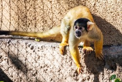 Bolivian Squirrel Monkey. Mammal and mammals. Land world and fauna. Wildlife and zoology. Nature and animal photography.