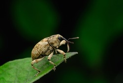 Boll weevil,  on leaf with black background