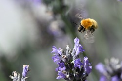 Bombus distinguendus, the great yellow bumblebee. Photo at low speed to see movement.