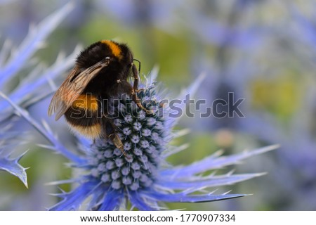 Bombus lucorum white-tailed bumble bee foraging on eryngium often referred to as Sea Holly. A magnet for bumblebees and various solitary species such as hoverflies and butterflies. It is a hardy plant Stockfoto ©