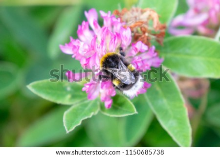 Bombus lucorum (white-tailed bumblebee), drinking nectar from Trifolium medium (Zigzag Clover), on Kökar, a municipality of the Åland Islands, Finland, in the Baltic Sea.