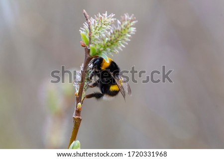 Bombus terrestris, the buff-tailed bumblebee or large earth bumblebee, is one of the most numerous bumblebee species in Europe. Buff-tailed Bumblebee (Bombus terrestris) on a willow flower. Stock photo ©