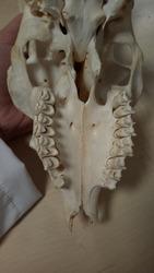 Bone anatomy of a boar, cranium, jaw