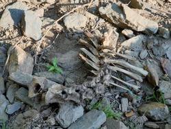 Bone of Animal Skulls Bones Real Buffalo for sale Real Animal Skull for Sale The Bone bird and Bones Skull and crossbones Human symbolism, jolly Roger, head of animals.