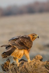 Bonelli eagle on fligth wings