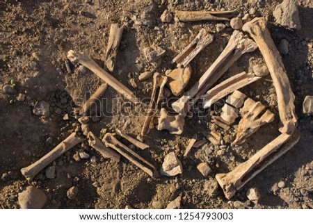 Bones of animals eaten by ancient people. The remains of cloven-hoofed animals. stock photo