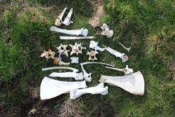 Bones of animals killed in the mountains. Dead sheep bones with rocks