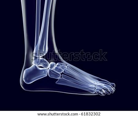 Human skeleton foot side - photo#23