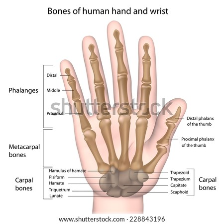 Bones of the hand labeled
