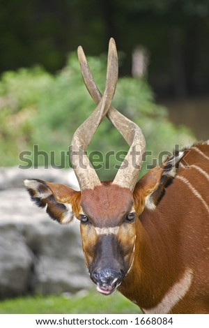 Bongo Taurotragus euryceros isaaci Antilope at the Louisville Zoo