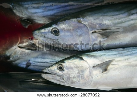 Bonito, skipjack tuna, Sarda Sarda on bloody water