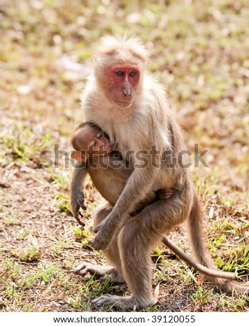 Bonnet Macaque Mother Nursing Her Baby in Bandipur National Park, India.