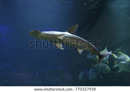 Bonnethead shark on a close up horizontal picture with blue background. A rare marine species with unusual head shape.