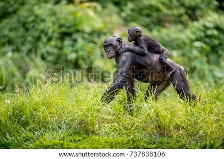 Bonobo Cub on the mother's back in natural habitat. Green natural background. The Bonobo ( Pan paniscus), called the pygmy chimpanzee. Democratic Republic of Congo. Africa