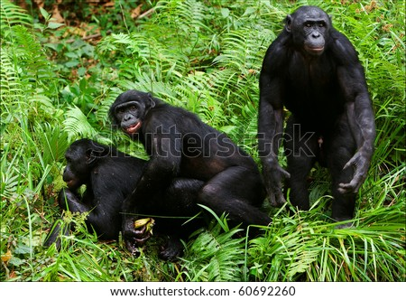 Bonobo love. / Lola Ya Bonobo. Democratic republic Congo.