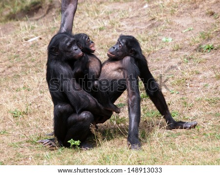 Bonobos Monkey Love Bonobo Monkeys Having Sex