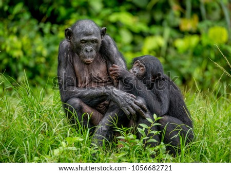 Bonobo mother with a baby on a background of a tropical forest. Democratic Republic of the Congo. Africa. #1056682721