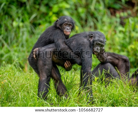 Bonobo mother with a baby on a background of a tropical forest. Democratic Republic of the Congo. Africa. #1056682727