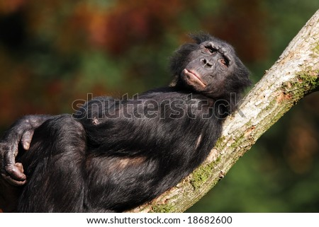 Bonobo relaxing on a branch