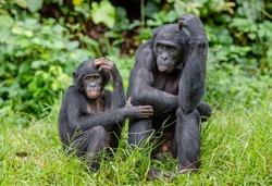 Bonobos in natural habitat on Green natural background. The Bonobo ( Pan paniscus), called the pygmy chimpanzee. Democratic Republic of Congo. Africa
