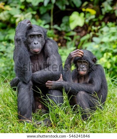 Bonobos in natural habitat on Green natural background. The Bonobo ( Pan paniscus), called the pygmy chimpanzee. Democratic Republic of Congo. Africa  #546241846