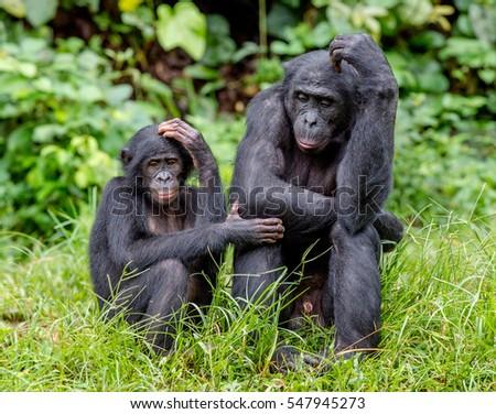 Bonobos in natural habitat on Green natural background. The Bonobo ( Pan paniscus), called the pygmy chimpanzee. Democratic Republic of Congo. Africa #547945273