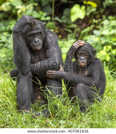 Bonobos (Pan Paniscus) on green natural background. Democratic Republic of Congo. Africa   #407081836