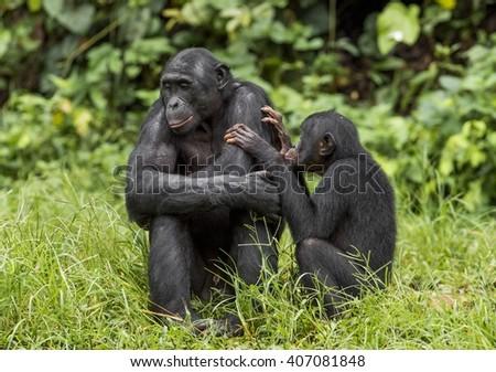 Bonobos (Pan Paniscus) on green natural background. Democratic Republic of Congo. Africa   #407081848