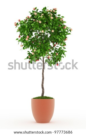 Bonsai apple tree full of  red  apples in pot isolated over white