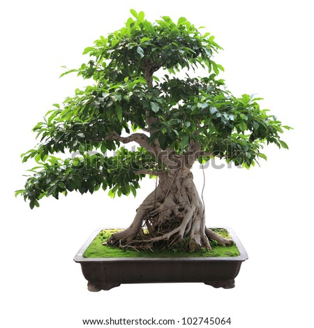 bonsai banyan tree with white background