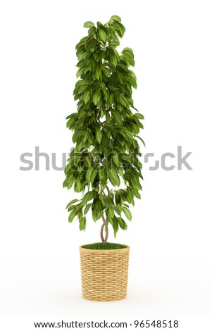 bonsai big leaf plant in wooden pot Isolated over white