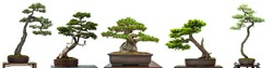 Bonsai conifer trees from Japan white isolated