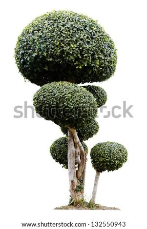 bonsai isolated