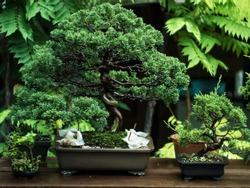 Bonsai itoigawa shimpaku in garden