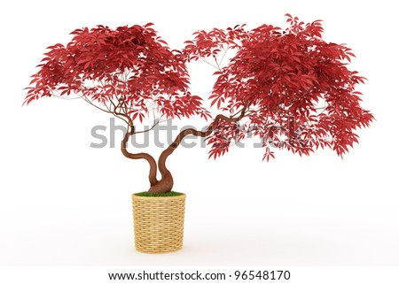 bonsai  japanese maple with red leaves  in pot Isolated over white