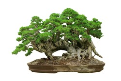 Bonsai Japanese style, white background, isolated