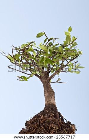 bonsai japanese tree isolated on blue background